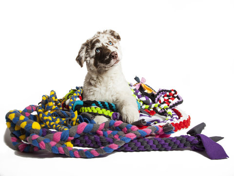 The cute puppy dog of Australian Shepherd,isolated on white background, playing with toys
