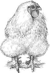 fluffy hen