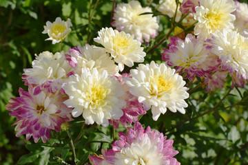 白とピンク色の菊の花