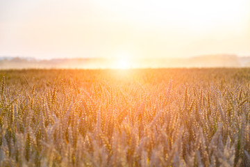 Sunset above large wheat field
