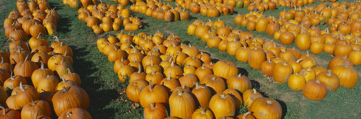 Halloween pumpkins, Dutchess County, New York