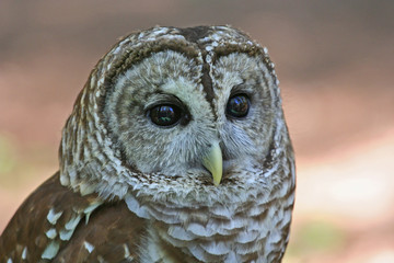 Closeup of a Barred Owl Raptor