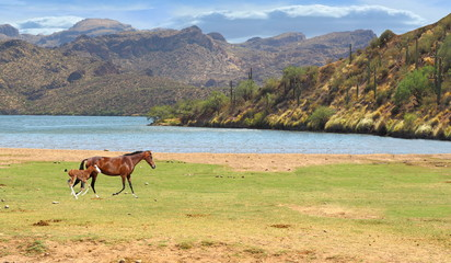 Wild Horse running in field with colt near river and mountains in background