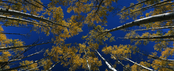 Wall Mural - This is an image looking straight up at a group of autumn aspen trees. They are set against a blue sky.