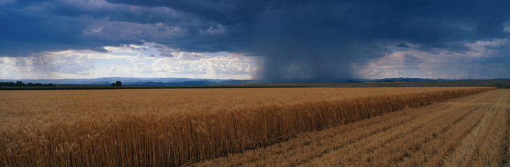 This is a summer rain storm over a wheat field. The storm clouds are grey over the field.