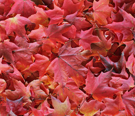 Red maple leaves 4