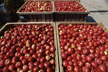 Crates of red apples
