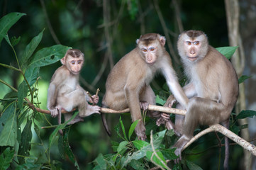 Monkeys checking for fleas and ticks on concrete fence in the pa