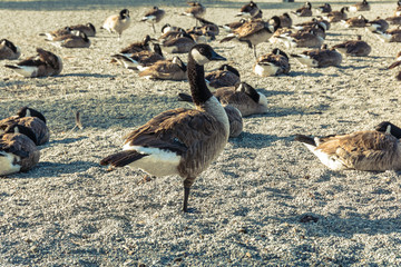 Canada Geese, Del Valle Lake, California