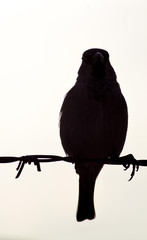 Black bird on a wire with white background