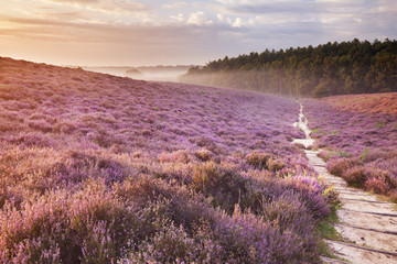 Path through blooming heather at sunrise, Posbank, The Netherlan