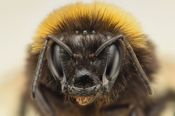 Bumble Bee extreme closeup
