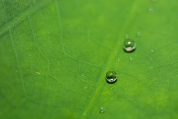Water Drop on Lotus Leaf