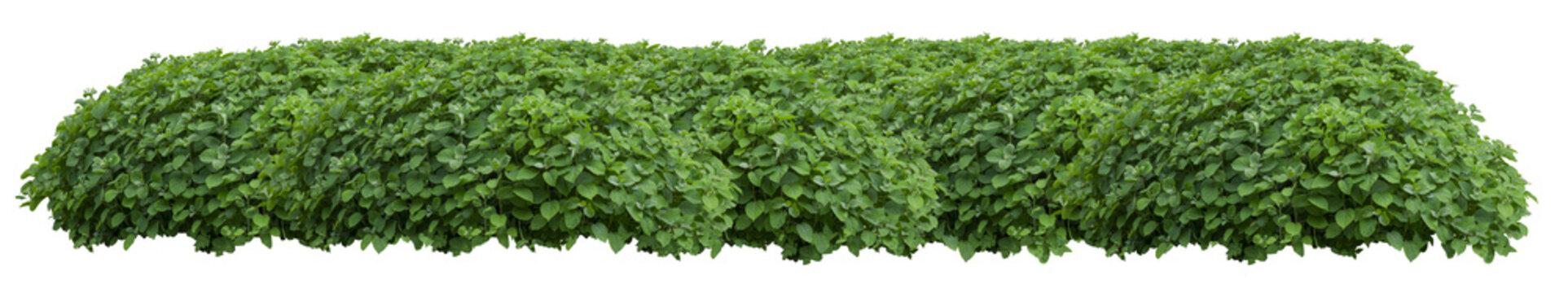 Green fresh ornamental wild hedge isolated on white background