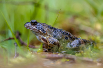 Printed roller blinds Frog Male Common frog