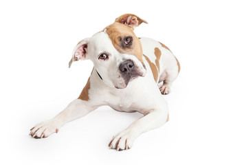 American Staffordshire Dog Laying Tilting Head
