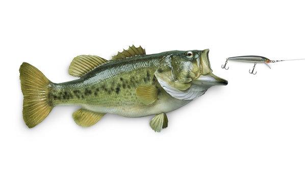 Largemouth bass chasing lure isolated on white background