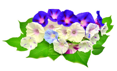 Colorful flower Morning Glory