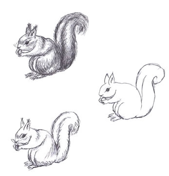Pencil drawing of squirrel on white background