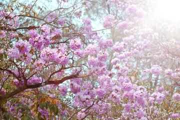 Pink trumpet tree (Bertol),sweet pink flower blooming in the garden