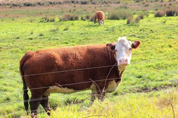 Cow looking on farmland in rural Australia