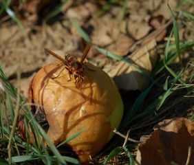 European hornet  ( Vespa crabro  ) on apple
