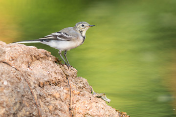 White wagtail perched on a stone