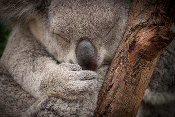 Cute sleeping wild  koala closeup portrait