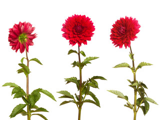 Poster de jardin Dahlia red dahlia on a long stalk