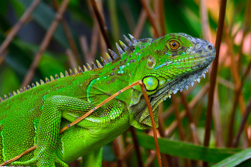 Green crested lizard (Bronchocela cristatella9