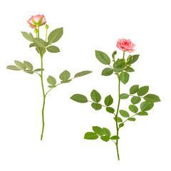Pink roses with stems, front and back, isolated on white