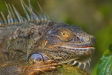Close-up of a Green Iguana, Reptile