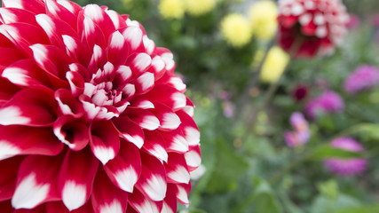 Close-up of a large red and white dahlia blossom in a flower bed. Right half of frame is out of focus flowers and foliage.
