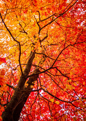 Colorful Orange and Red Maple Tree in Autumn