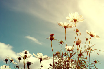 Wall Mural - vintage cosmos flower, nature background