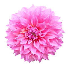 Canvas Prints Dahlia Pink dahlia flower isolated on white background