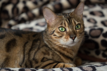 Portrait of a cat Bengal. Small depth of field