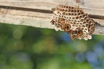 巣のアシナガバチ