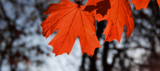fall maple leaf red autumn sunset tree