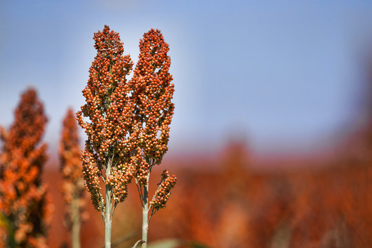 Sweet Sorghum stalk and seeds - biofuel and food. Horizontal Image with copy space to the right of the stalks.