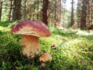 Prächtiger Steinpilz im Fichtenwald