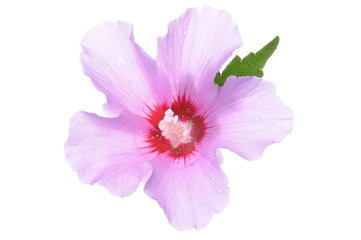 Violet hibiscus flower with green leaves isolated on white background