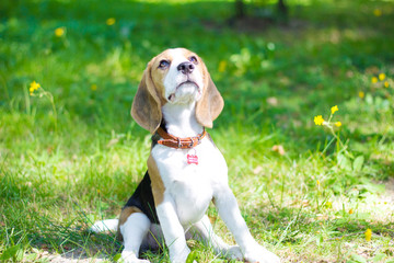 Beagle. Little puppy walks in the park.
