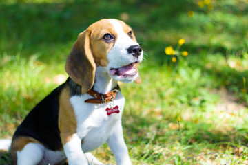 Beagle. Little puppy walks in the park.