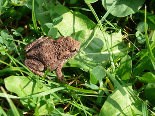 Bufo bufo (toad) on green grass
