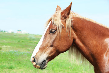 Beautiful brown horse grazing on meadow