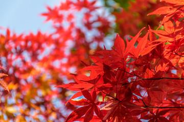 Fototapeta Colorful Autumn Leaf Season in Japan obraz