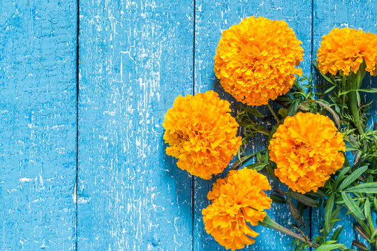 Orange marigolds on a blue wooden background