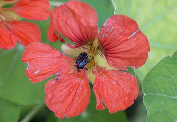 Жук Бронзовка мохнатая в цветке настурция