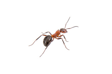 Brown ant on a white background